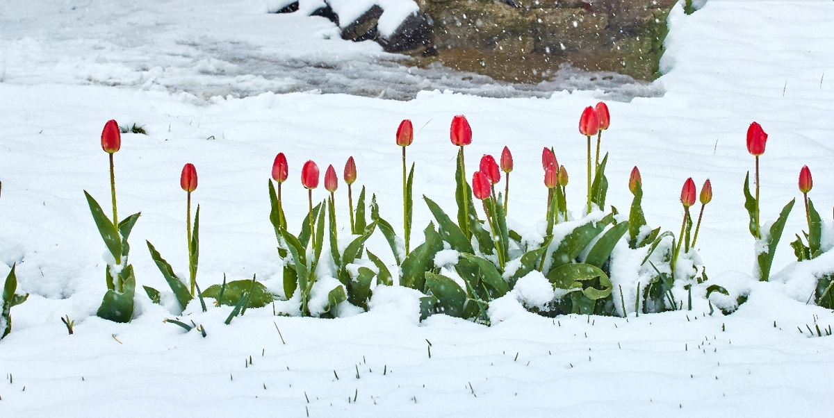 tulips growing covered with snow